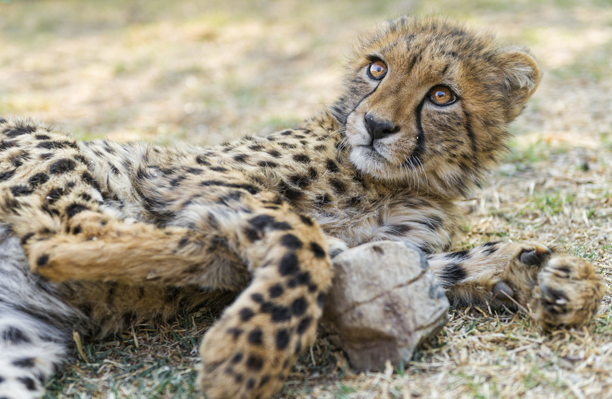 Some people even keep cheetahs as pets.