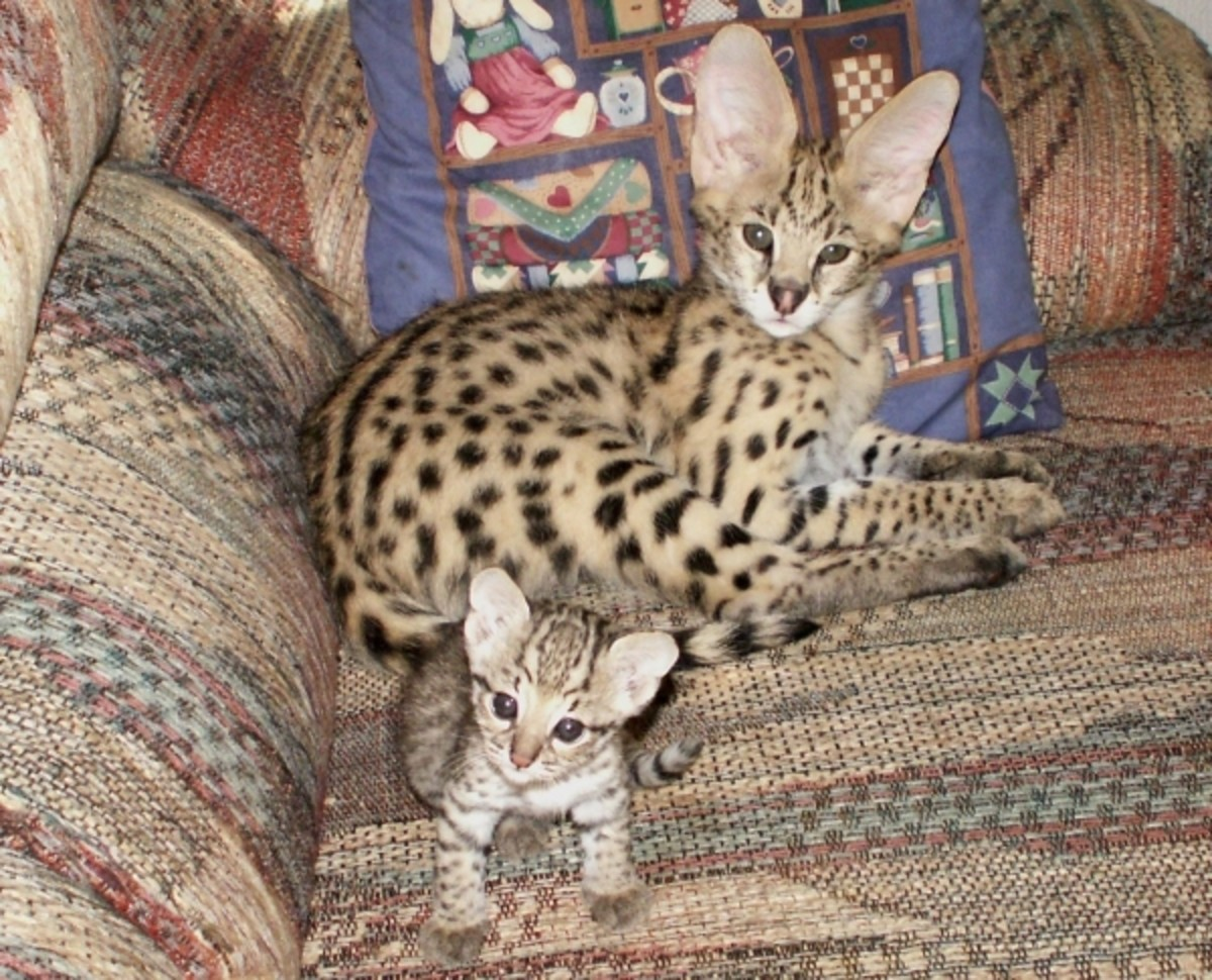 A serval and a baby Geoffroy's cat.