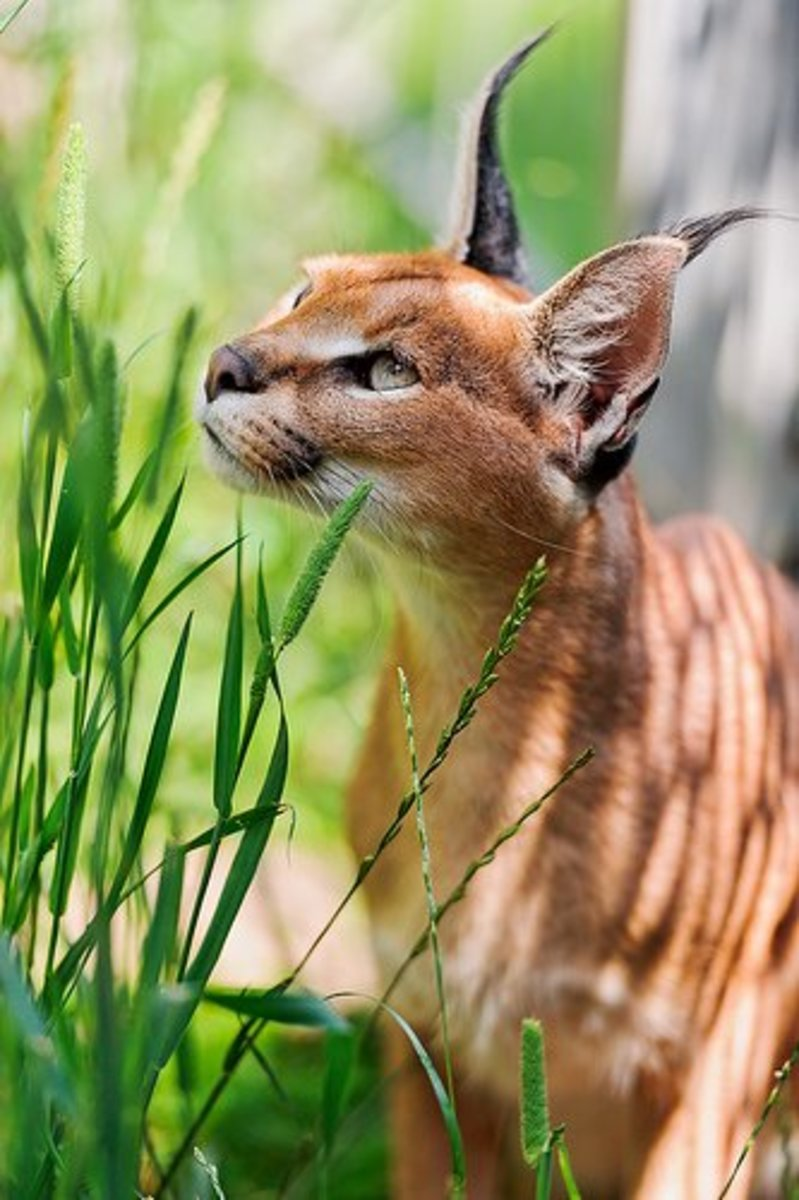 A caracal cat looking up
