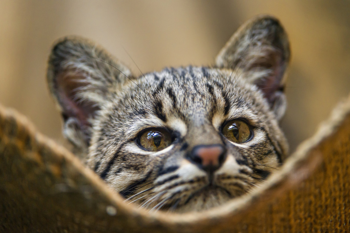 A Geoffroy's cat in a bag.