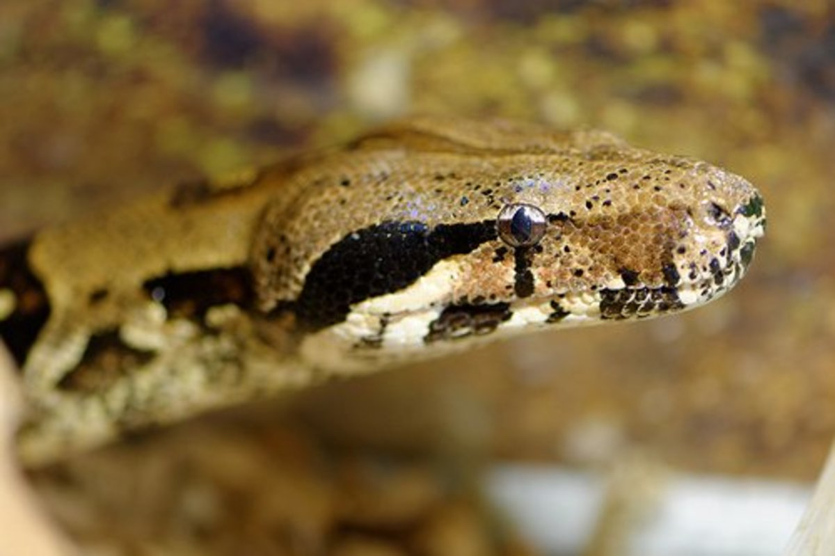 Close-up of a boa constrictor head.
