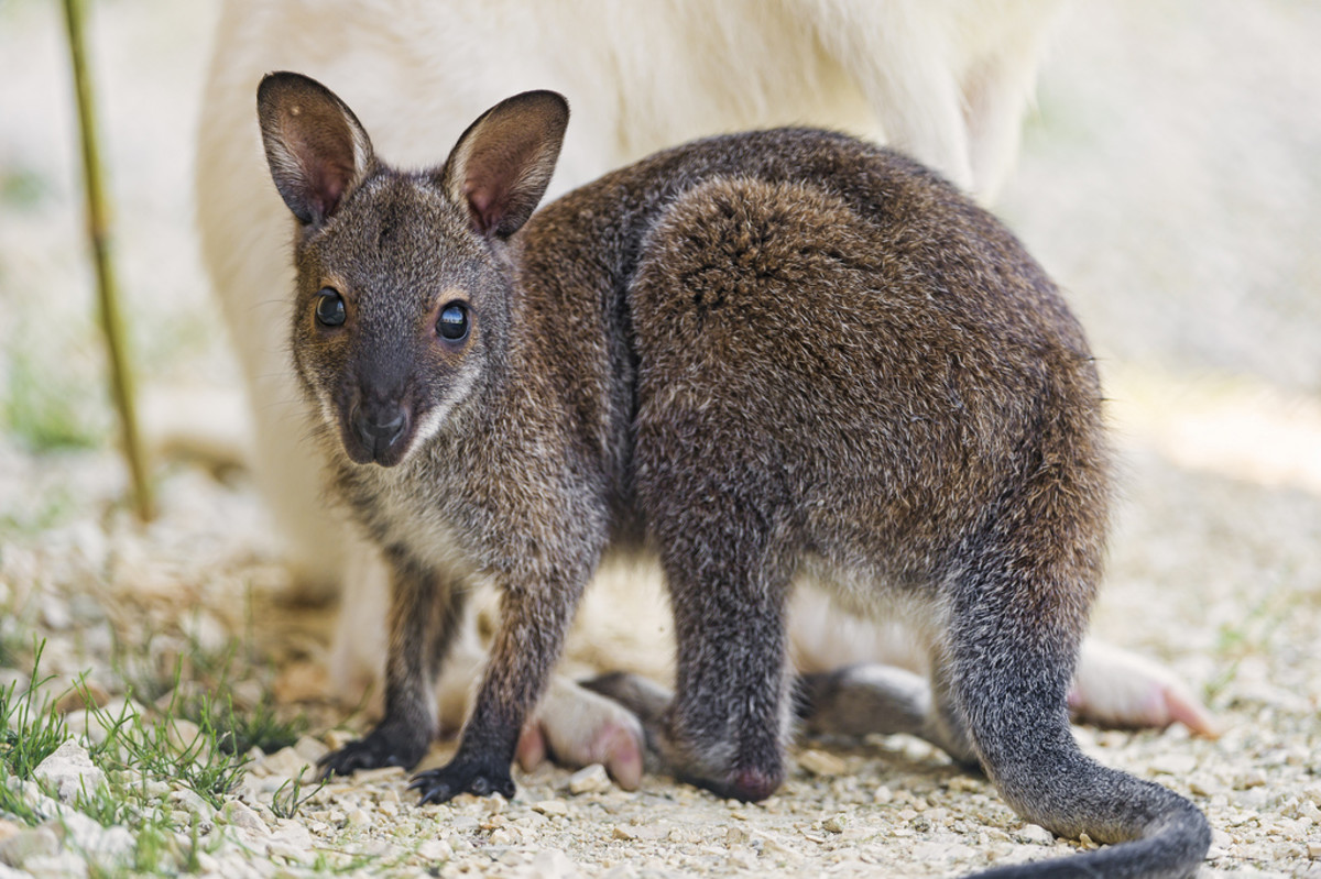 A baby wallaby and its albino mother in the background.