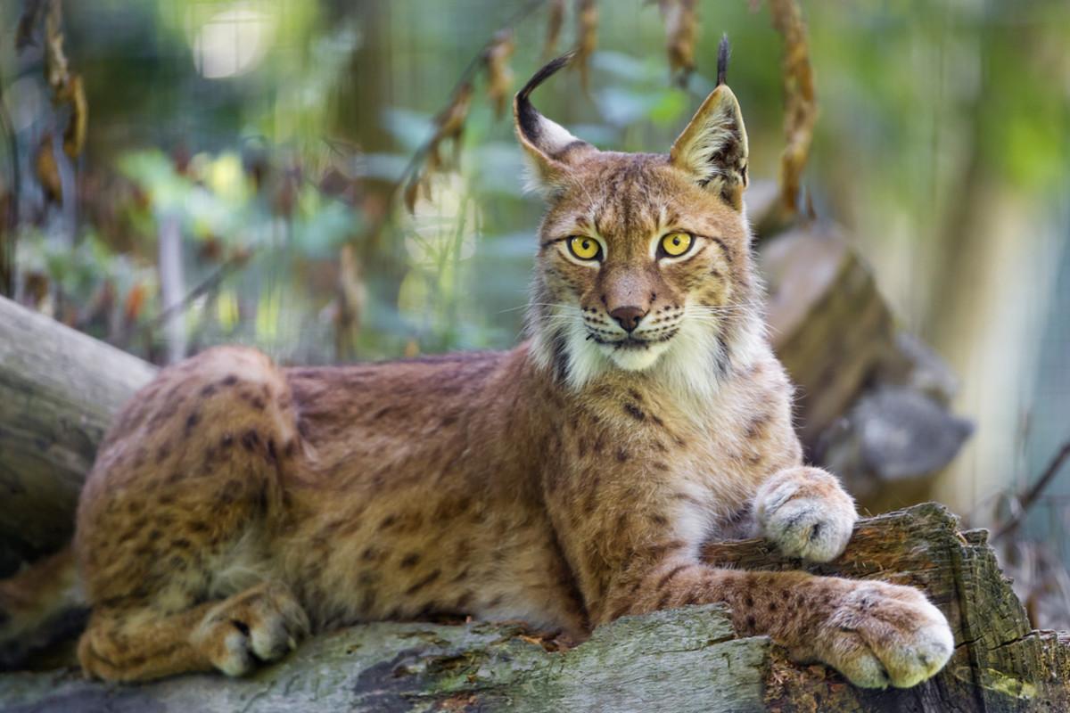 A siberian lynx lying on a rock.