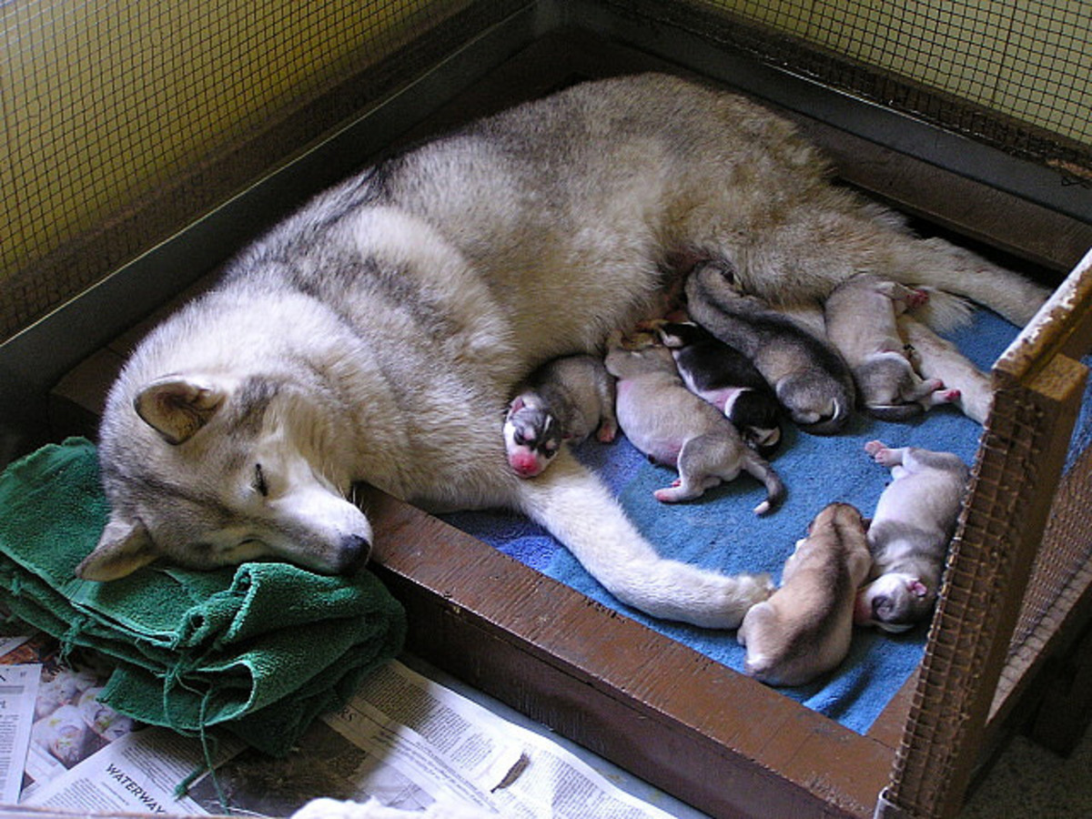 Siberian Huskies a little too young to be named!