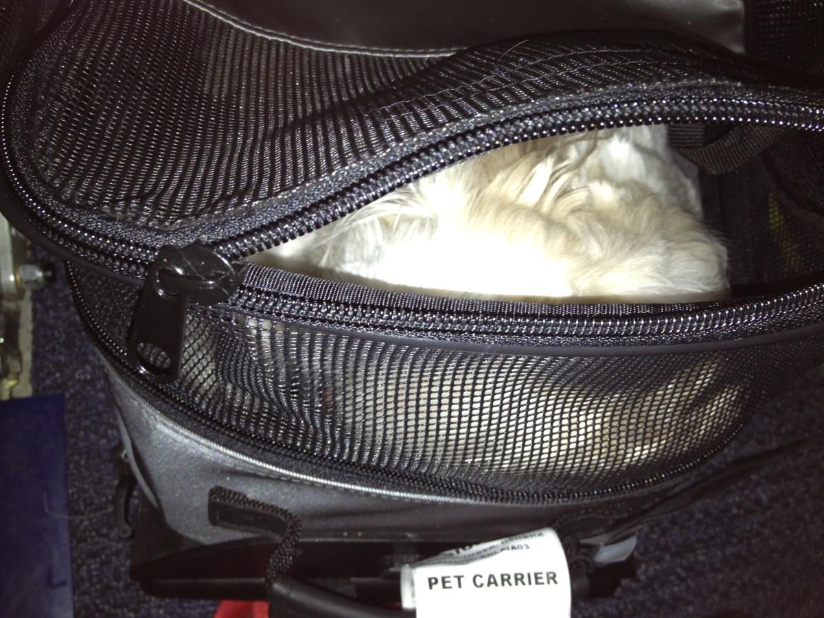 Gobi asleep in her carrier under the seat