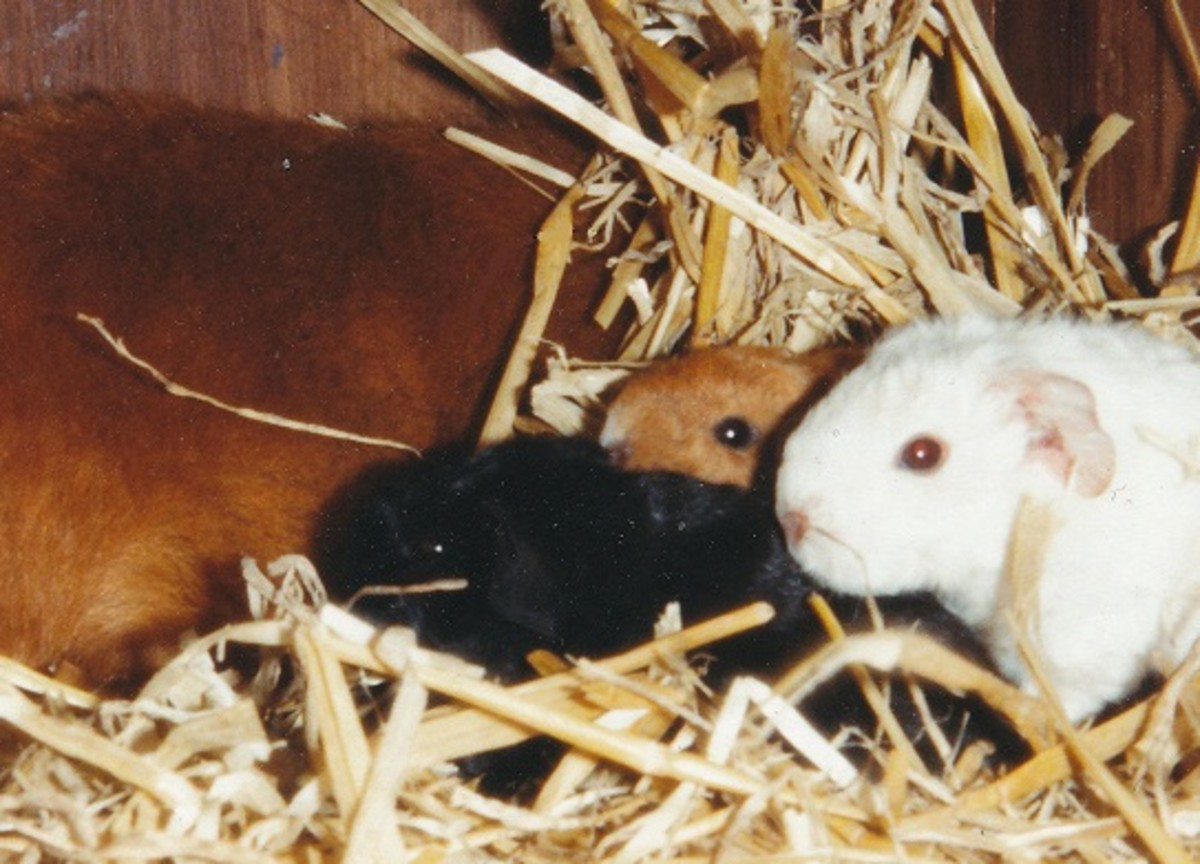 2 week old rex guinea pigs
