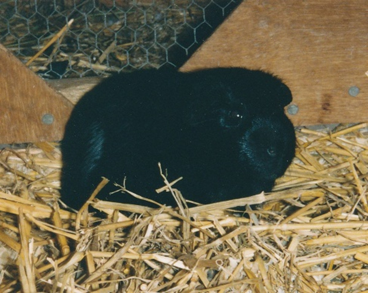 Self black guinea pig