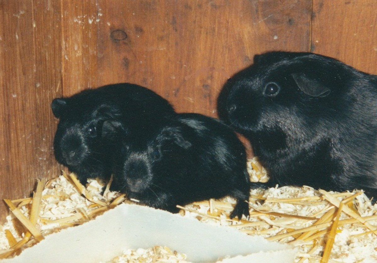 6 week old self black guinea pigs with their mother