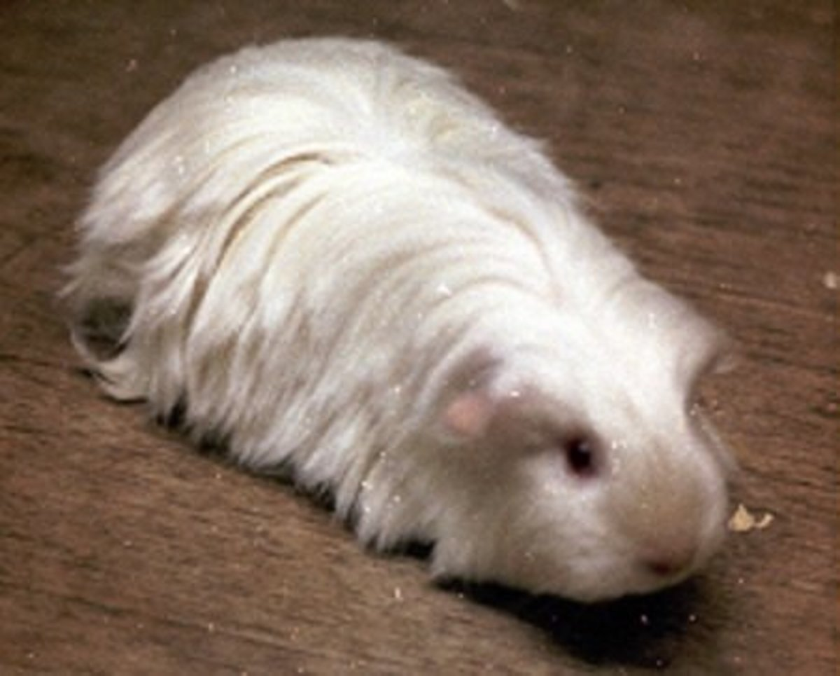 Satin coated sheltie guinea pig