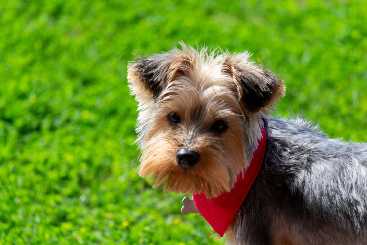 Yorkshire Terrier with a short beard.