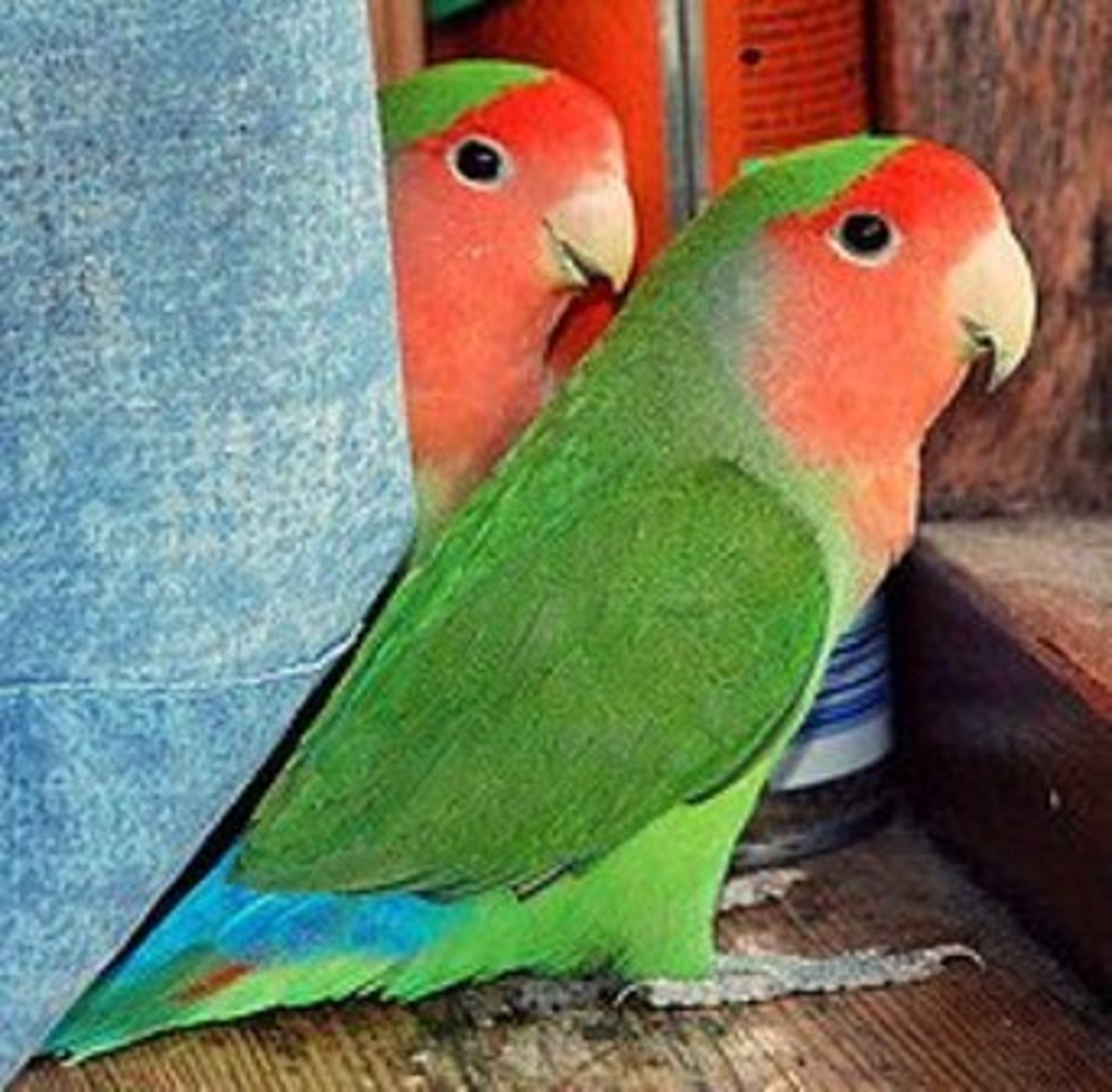 are lovebirds good as pets the pros and the cons pethelpful