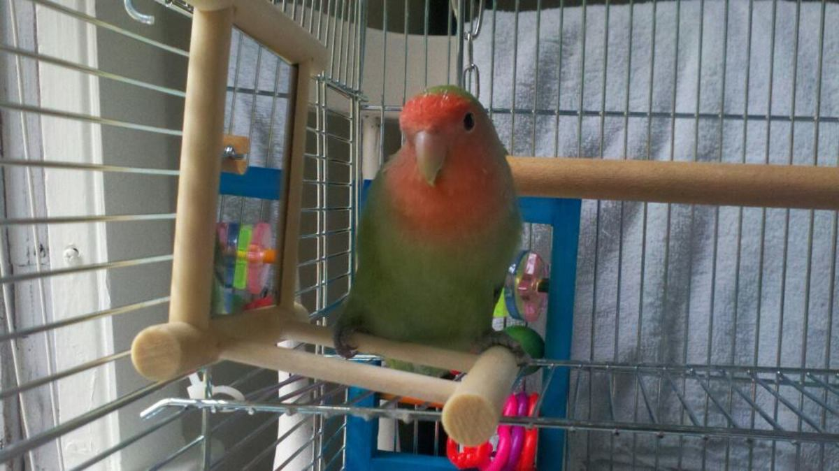 Lovebirds are very friendly and have great personalities.