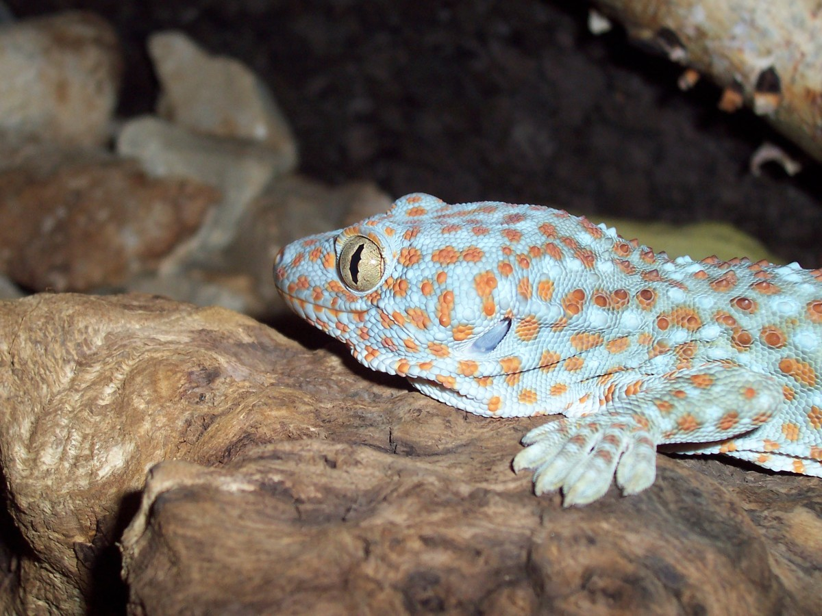 The aggressive tokay gecko might bite you if it doesn't like you handling it.