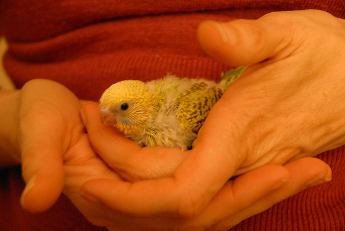 The younger the Budgie is, the higher the likelihood it will be friendly towards you.