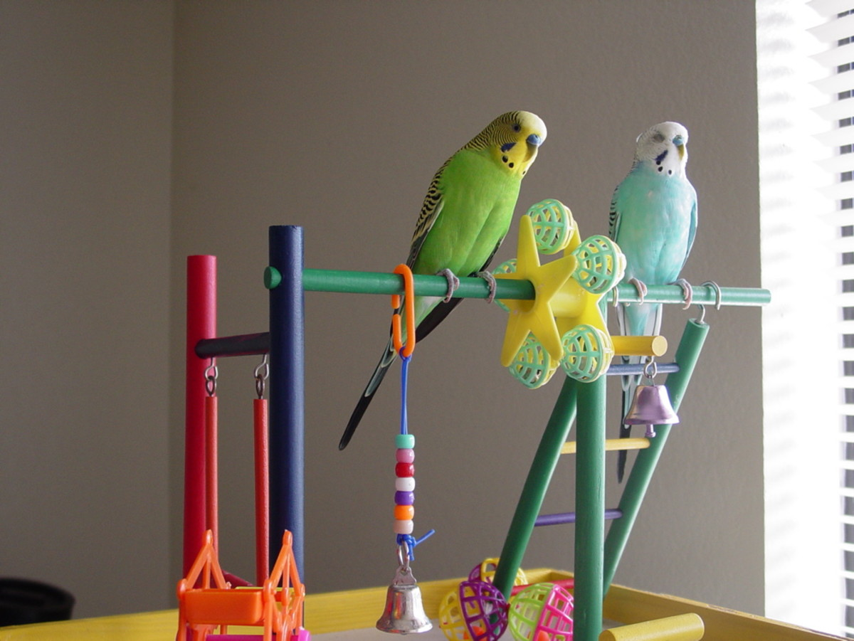 Parakeets need stimulation: be sure to purchase some items for them to climb on and peck.