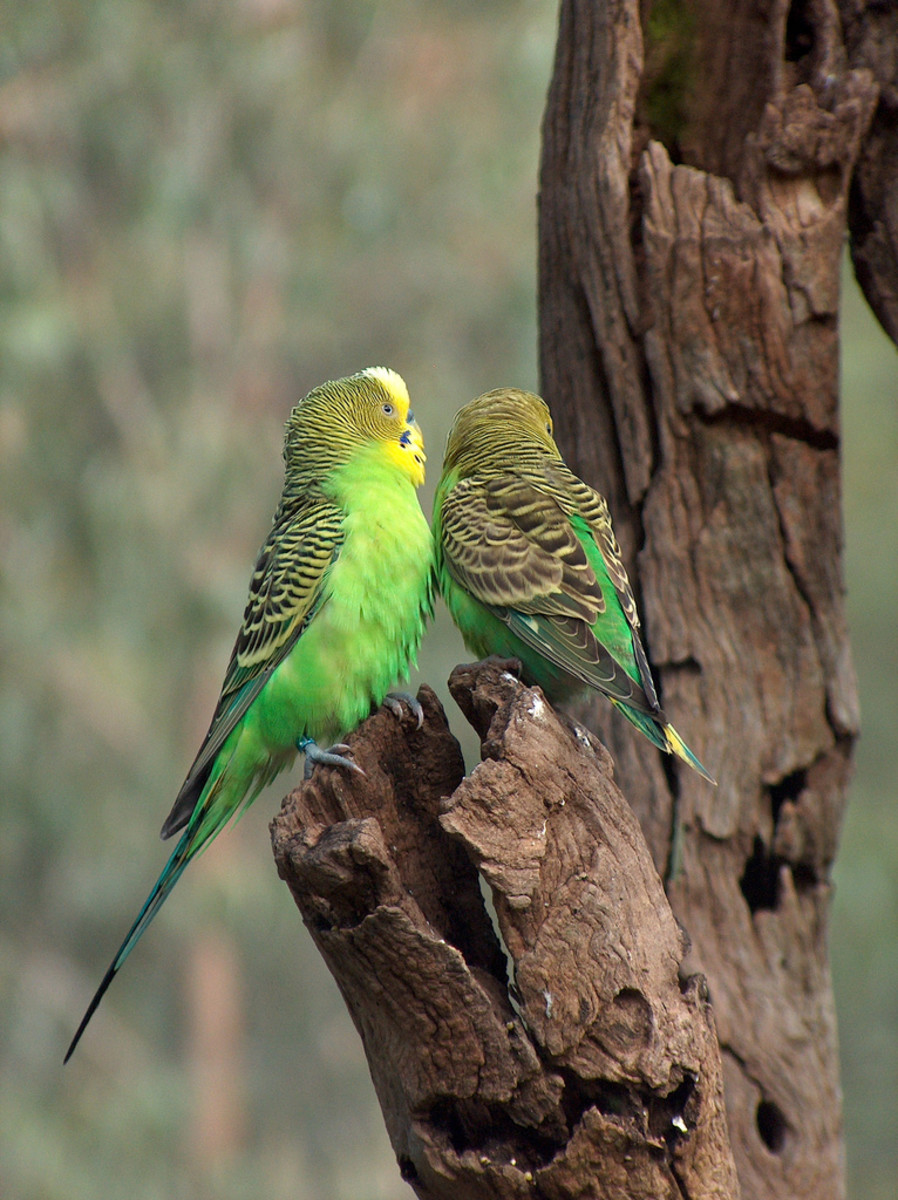 "Parakeets or ""Budgies"" are native to Australia."