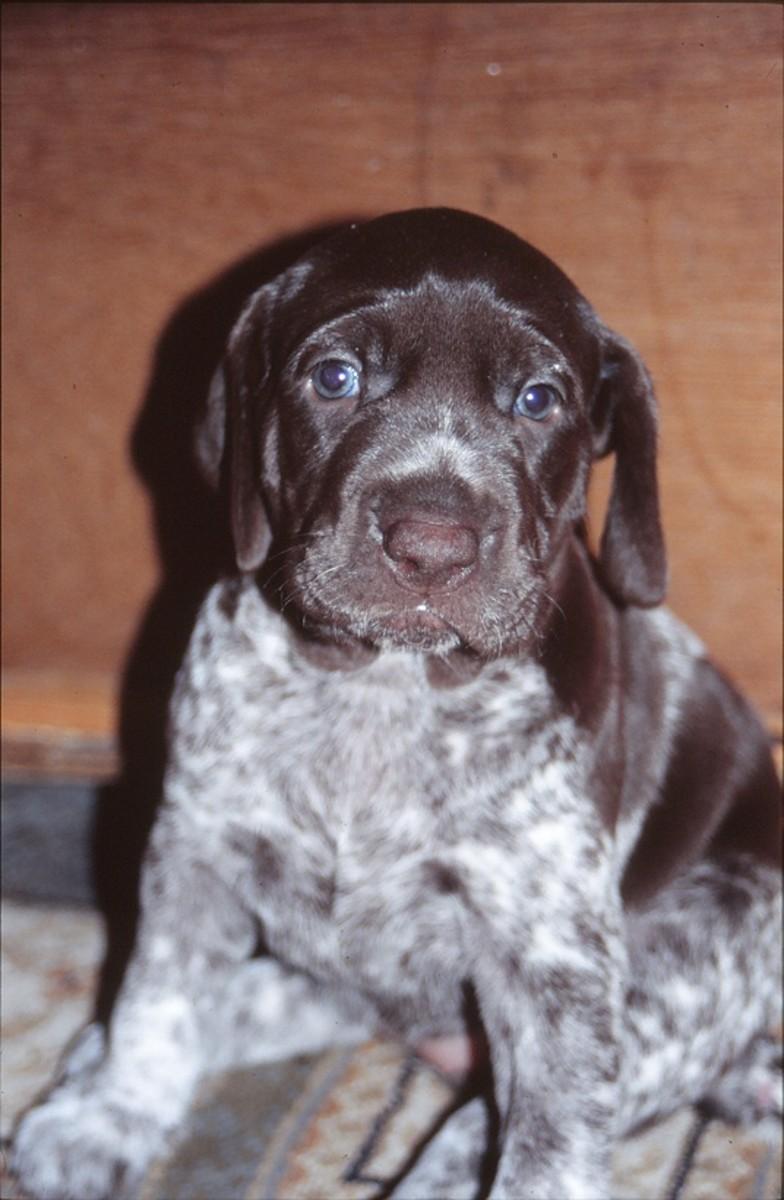 German short haired pointer puppy