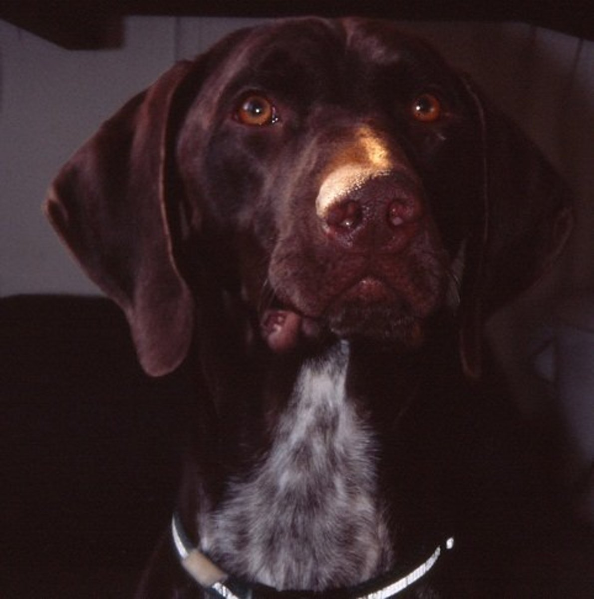 Adult German Shorthaired Pointers are pretty cute, too!