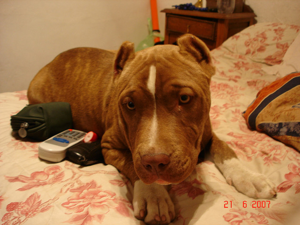 A red nose pit bull from a Latin country.