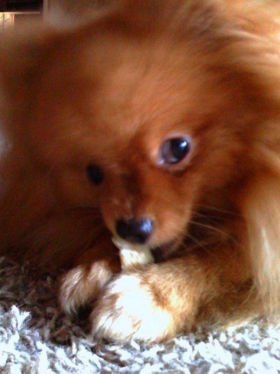 A red Pomeranian.