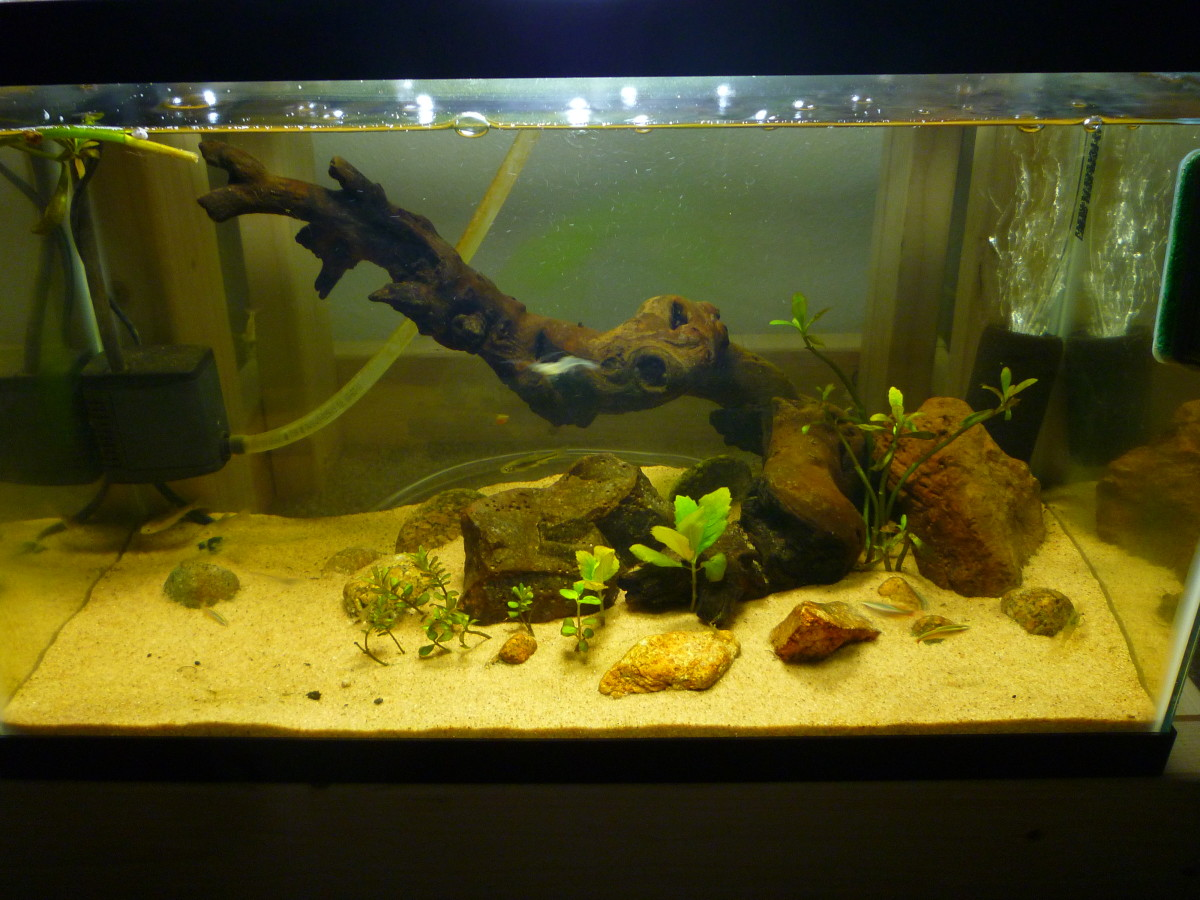 Cycled ten-gallon aquaponic aquarium