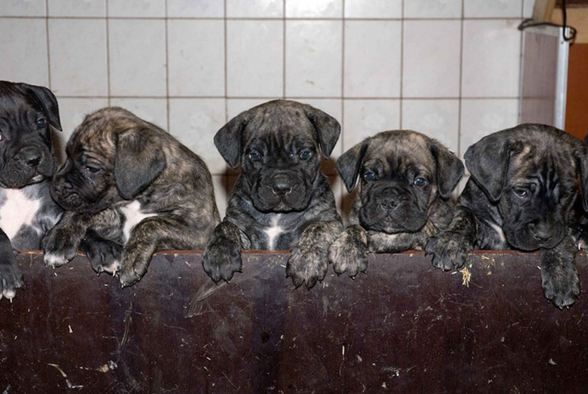 Cane Corso puppies almost ready for names