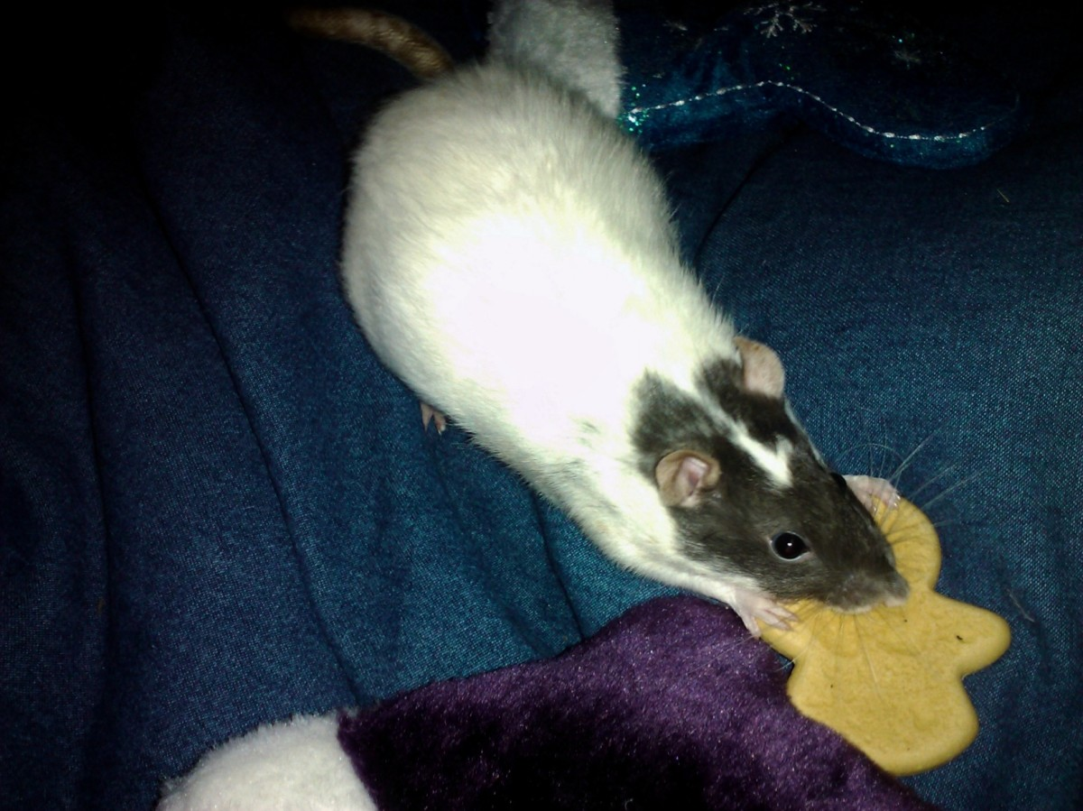 Treats are a great way to lure your rat out of its cage!