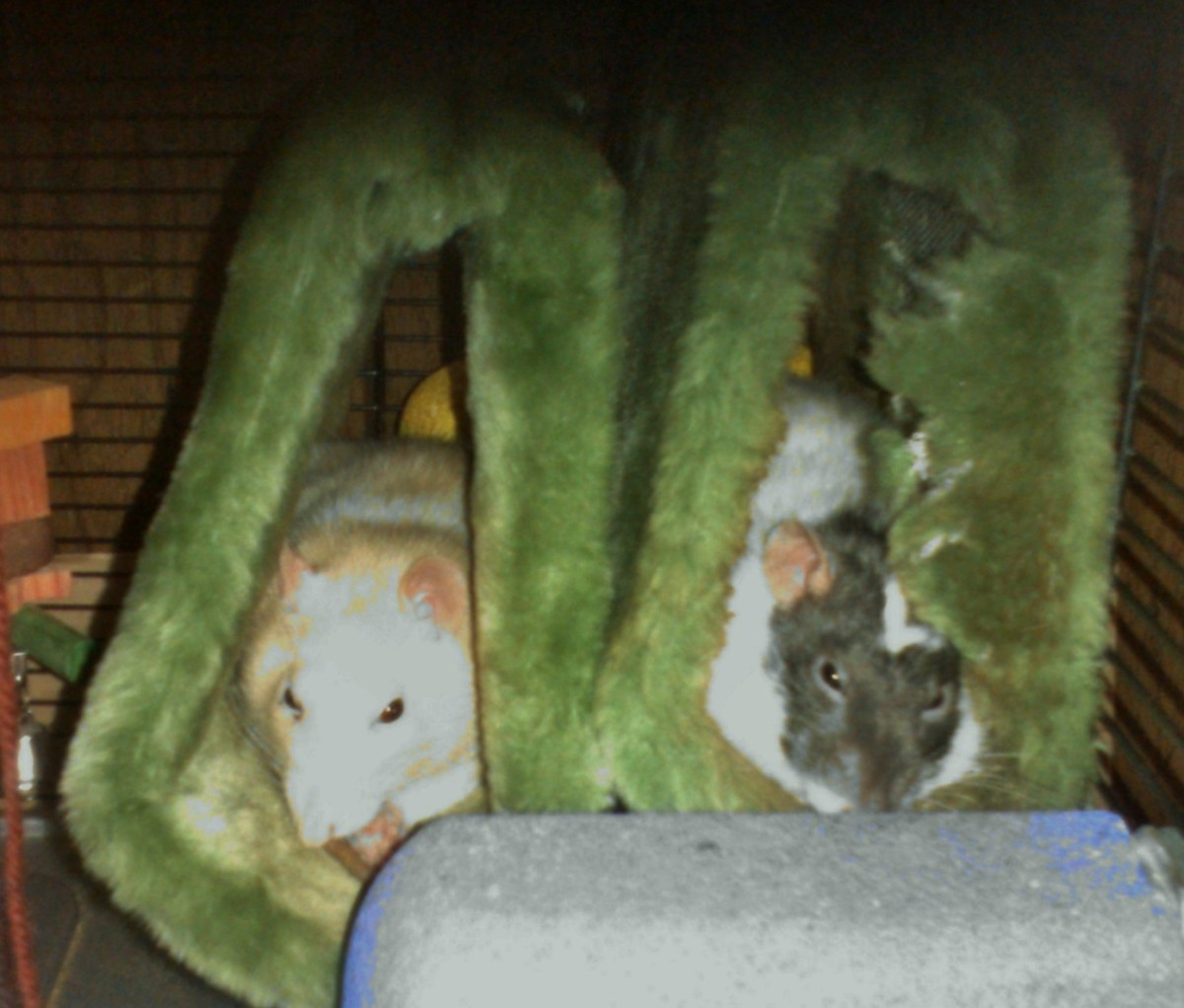 Quick rats are easiest to handle when sleepy, often in the afternoon.