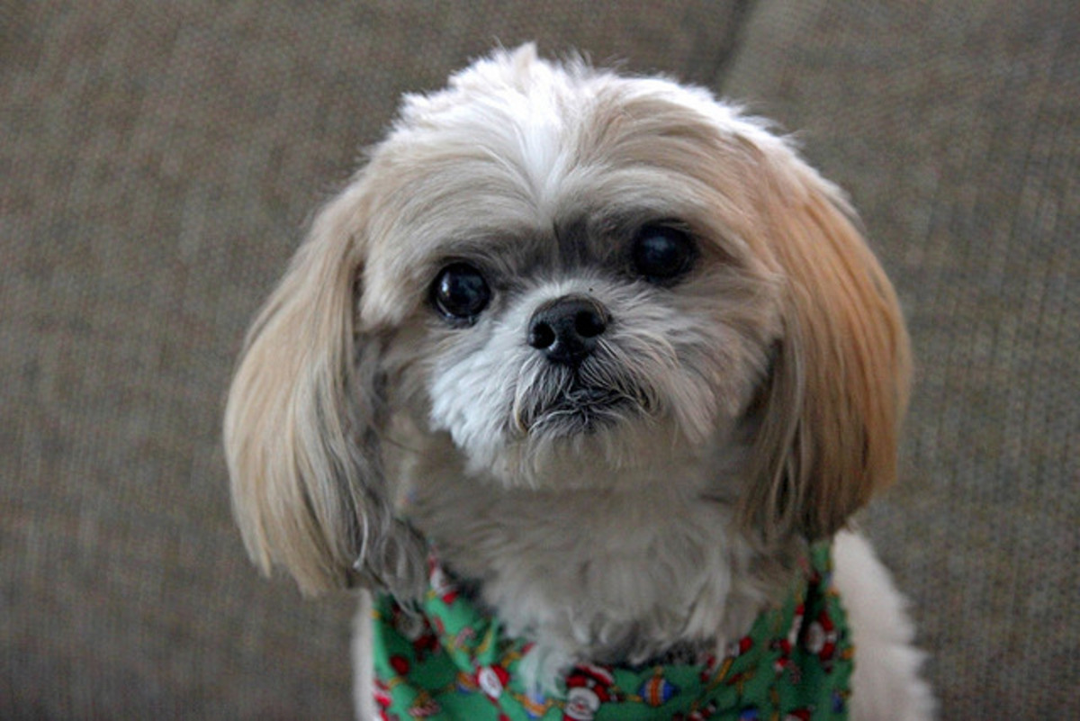 A Shih Tzu is ideal for seniors.