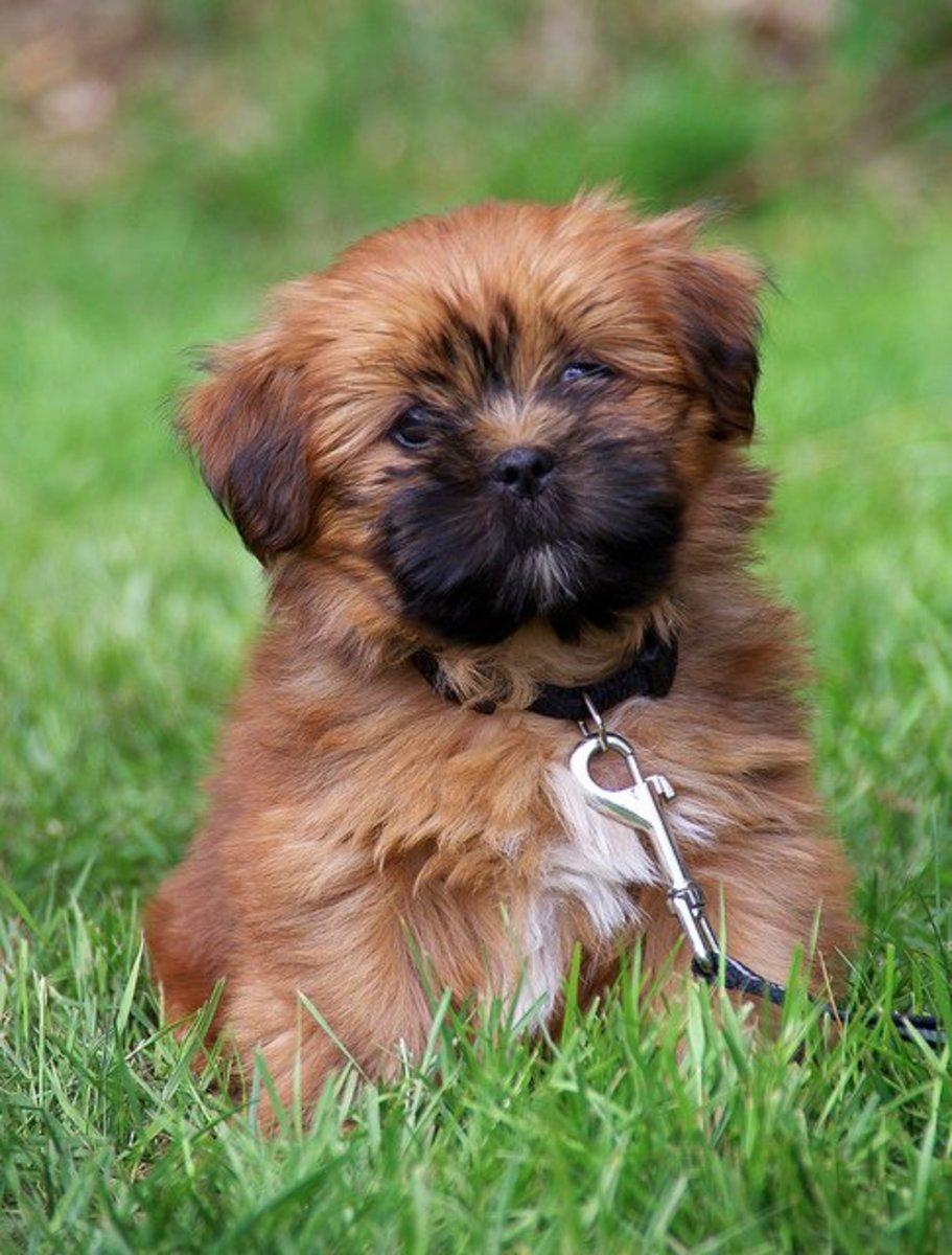 Lhasa Apso puppy.
