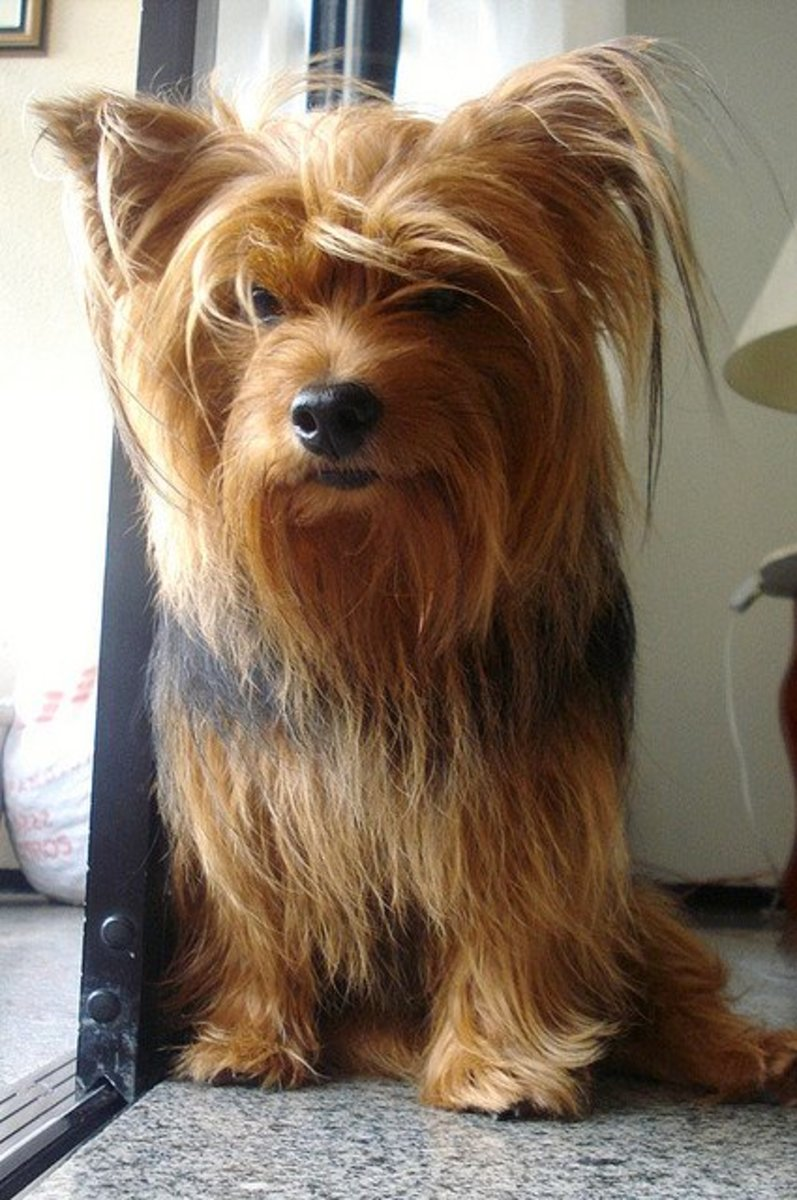 Yorkshire Terriers do not shed much.