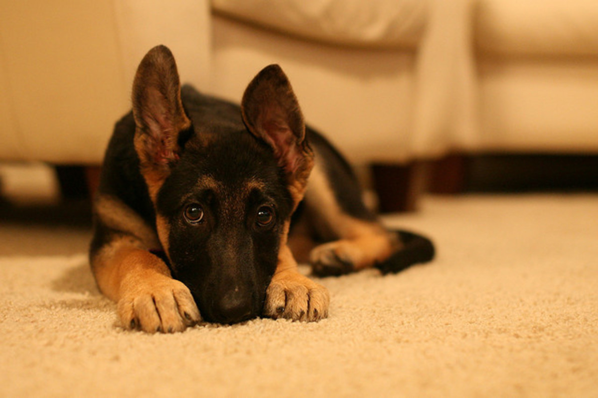 When you mention German, most people think of the German Shepherd Dog.