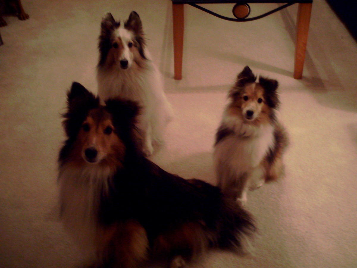 The author's three dogs waiting expectantly for the Salmon Crack during the photo shoot for this article.  You can see the intense focus as the dogs await their instructions.
