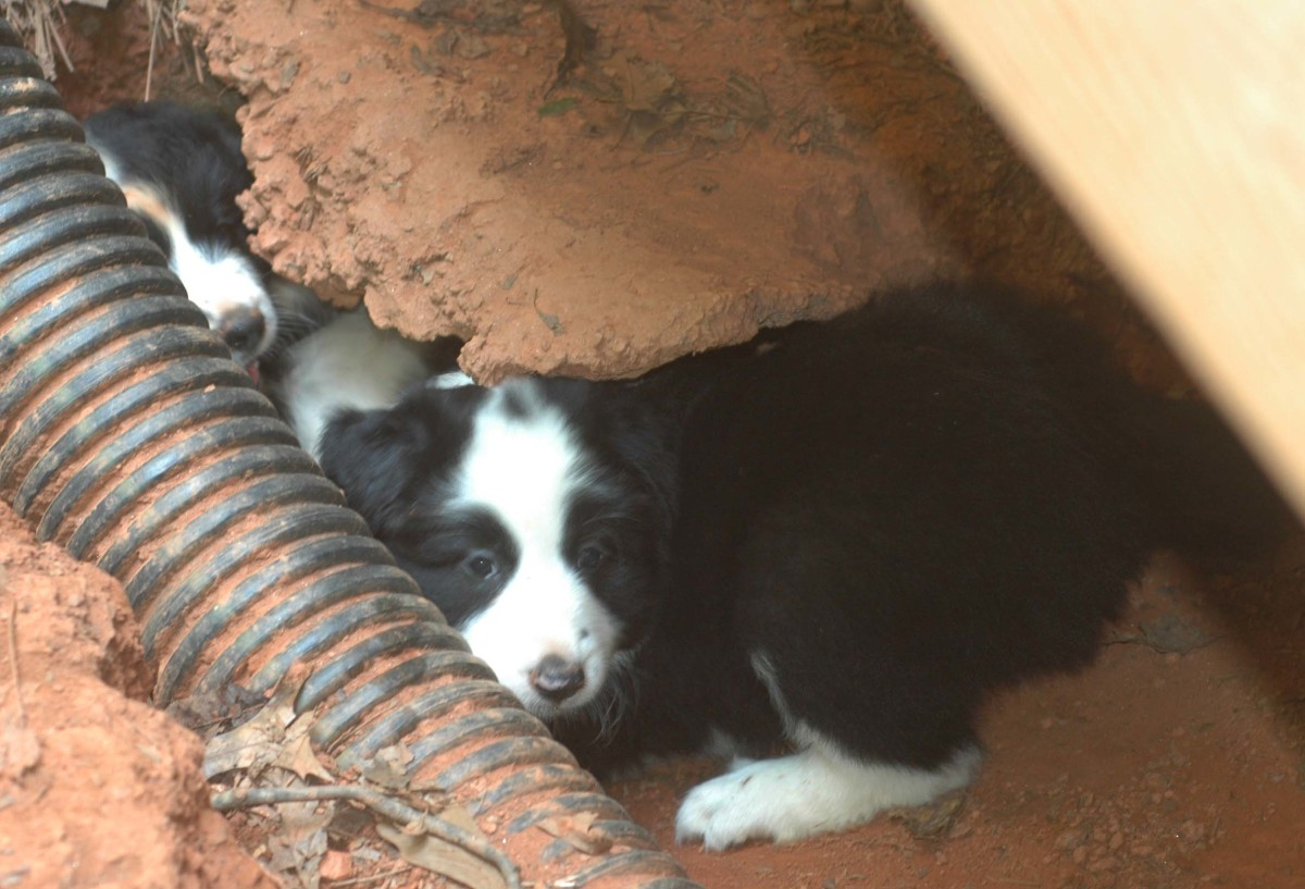 Puppies emerging from their den.