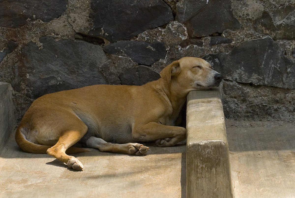 A dog in India, resting comfortably?