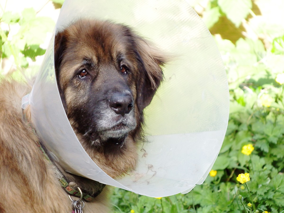 Ryan wearing a cone (This photo was taken after a different situation from his intestinal obstruction surgery.)