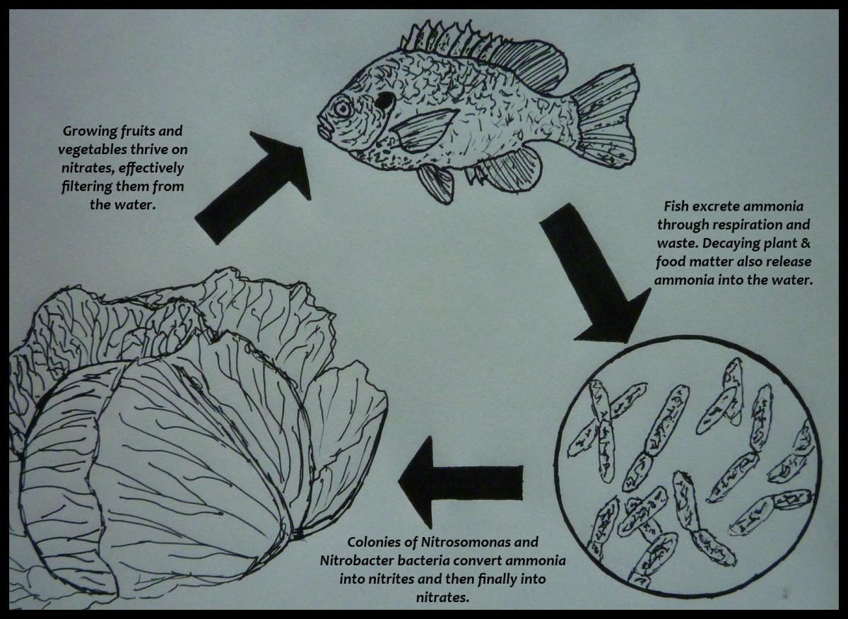 Aquaponics Nitrogen Cycle. © Joe Macho