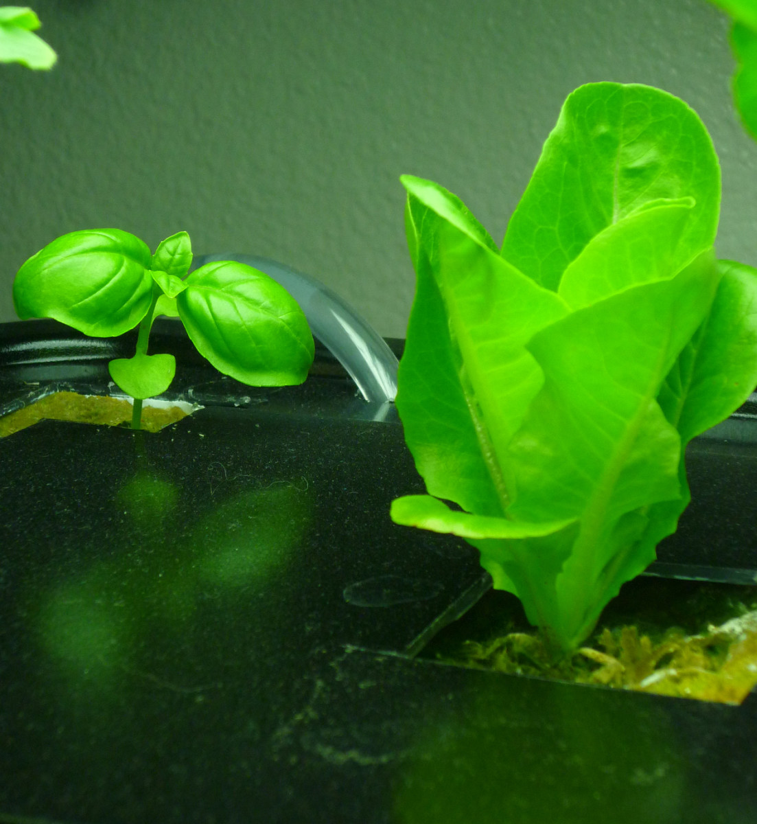 Aquaponic Basil & Little Gem Lettuce.