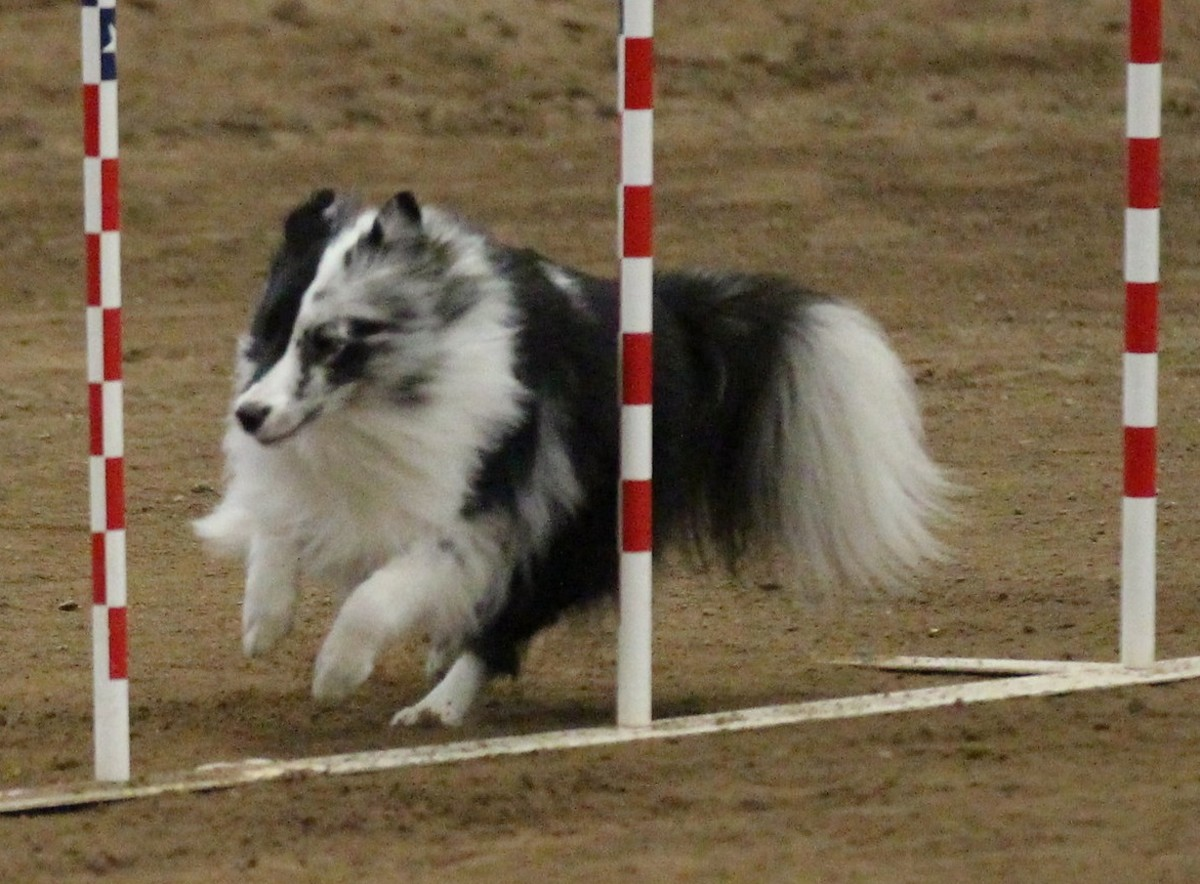 The author's young Sheltie weaving.