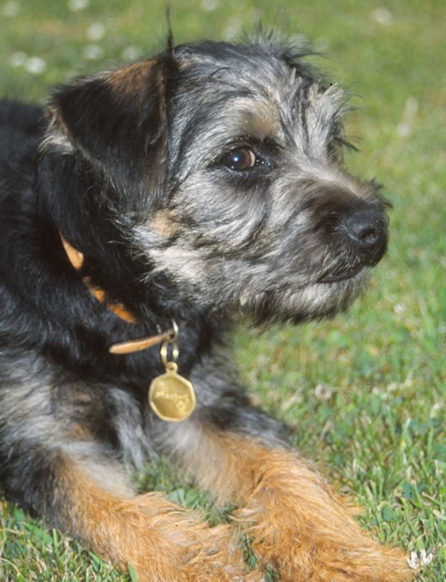Border terrier puppy