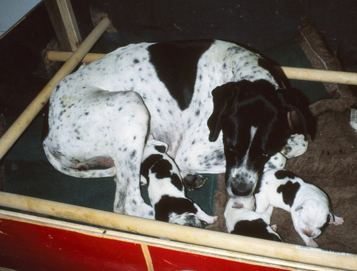 English Pointer with pups