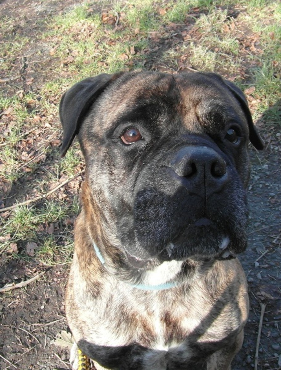 Brindle mastiff head