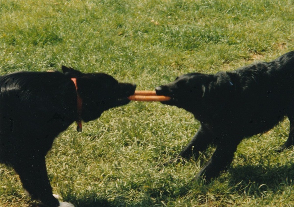 Flat coated retriever (right hand side)