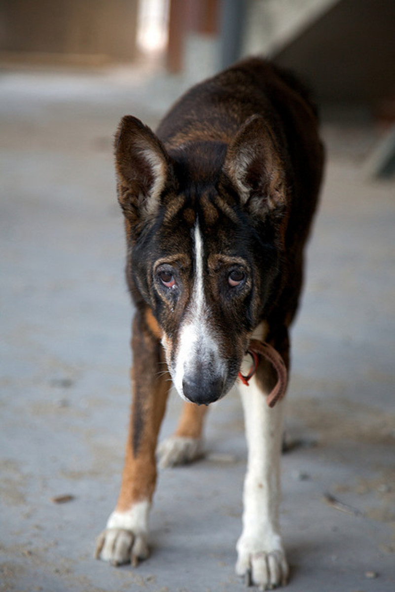 If the hips become arthritic, dogs are in pain and eventually lose muscle mass.