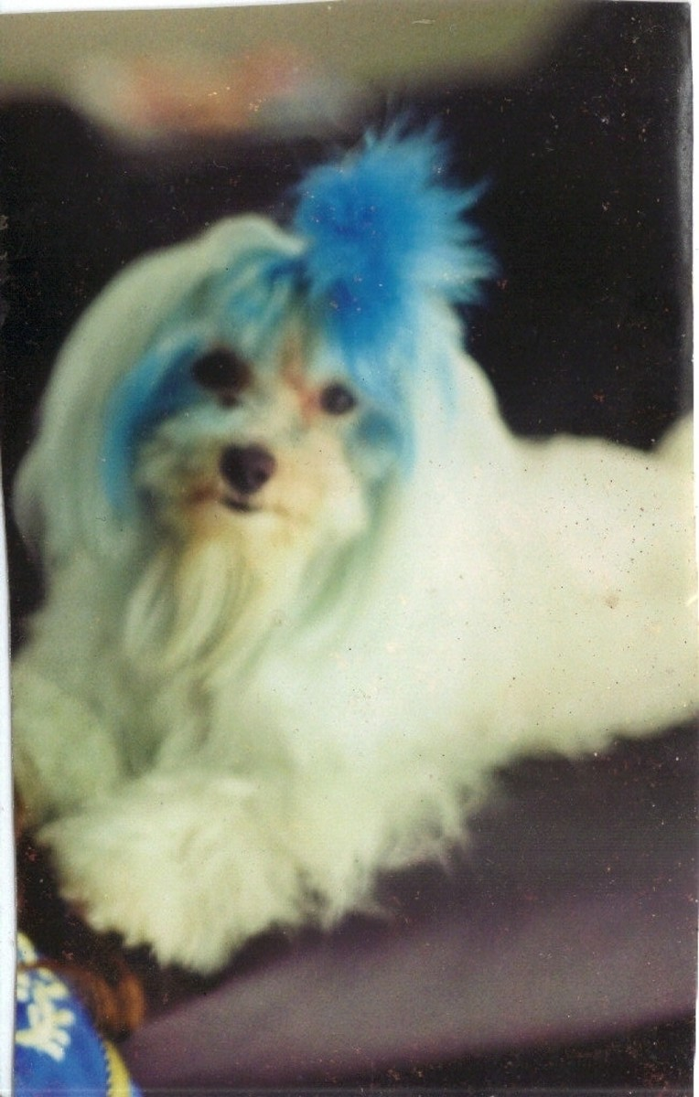 My dog Café Noir (RIP) and his blue 'do. This photo was in my wallet for several years before I scanned it, so the quality is terrible.