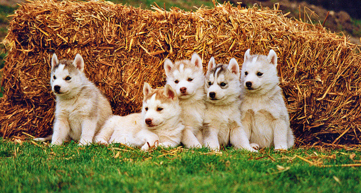 And sled dogs, like these Siberian Husky puppies, deserve authentic Siberian names.