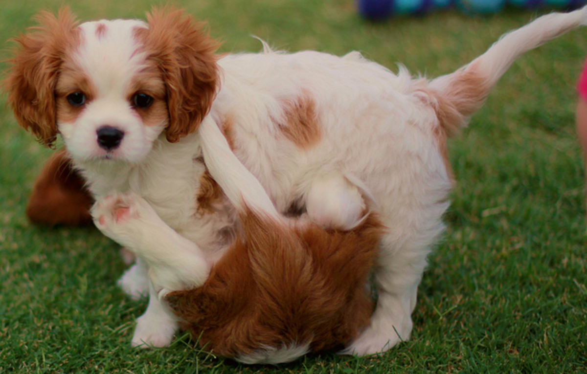 Expensive dogs, like this Cavalier, deserve rare names.