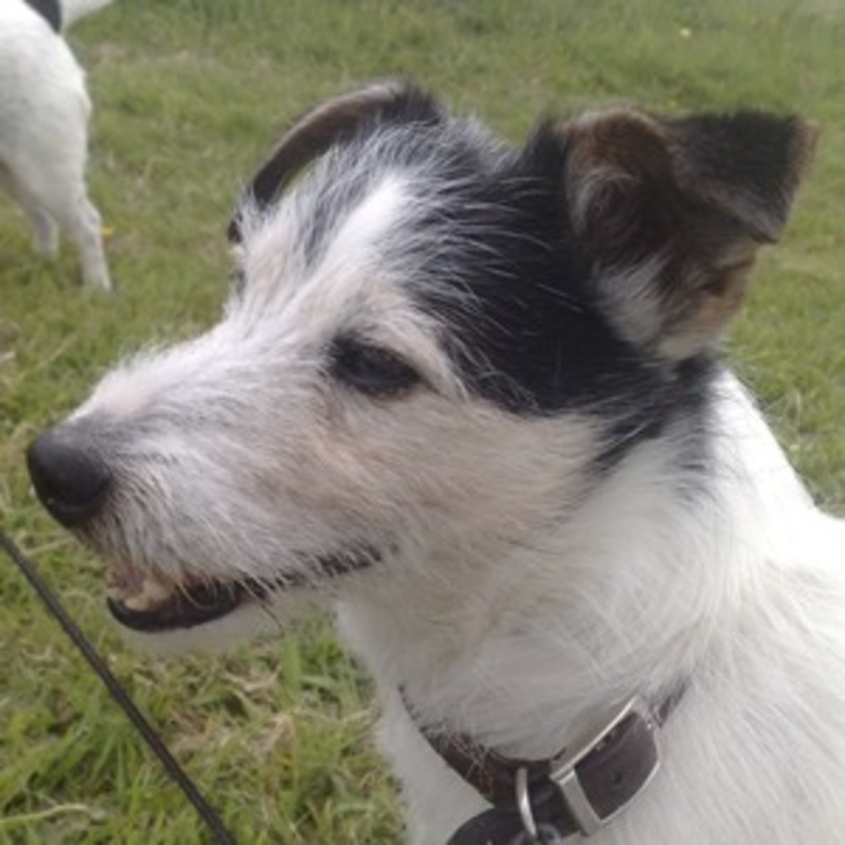Our Jack Russell 'Murdoch' who lived to the age of 16 years, 8 months!