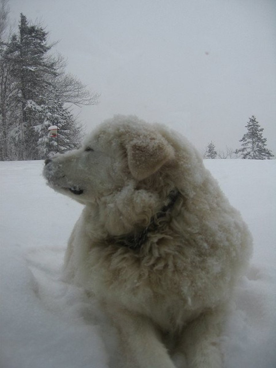 Livestock guard dog breeds similar to the Great Pyrenees were bred to be outside.