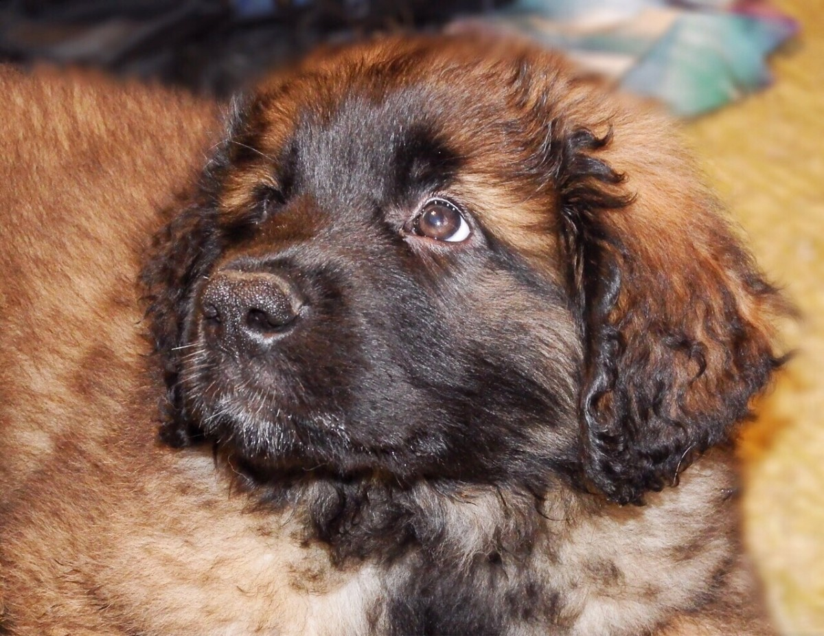 Leptospirosis in Dogs: A Potentially Serious Bacterial Infection